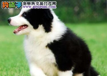 假期促销 出售优秀白金汉宫陨石色等深圳边境牧羊犬