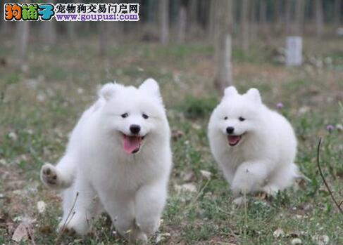 雪白微笑天使品相的萨摩耶幼犬优惠出售 杭州市内送货