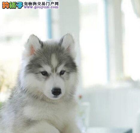 正规养殖基地出售纯种哈士奇幼犬 南宁的朋友上门看狗