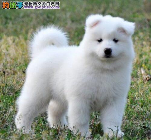 热销多只优秀的黔南州纯种萨摩耶幼犬CKU认证品质绝对保障