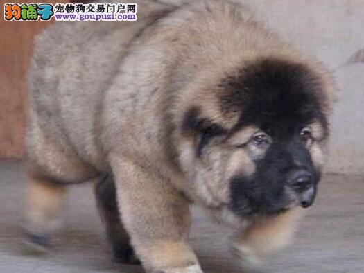 出售俄系熊版深圳高加索犬 可视频看狗欢迎当面看狗