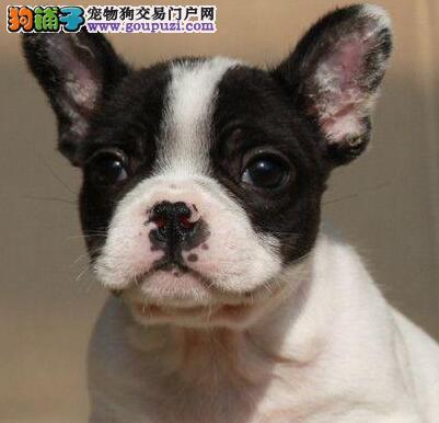 顶级优秀的纯种黄石法国斗牛犬热销中微信咨询欢迎选购