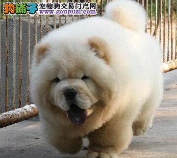 家养极品健康岳阳松狮犬转让保证血统可放心购买