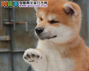 狗场热销日系赛级岳阳秋田犬驱虫已做公母均有