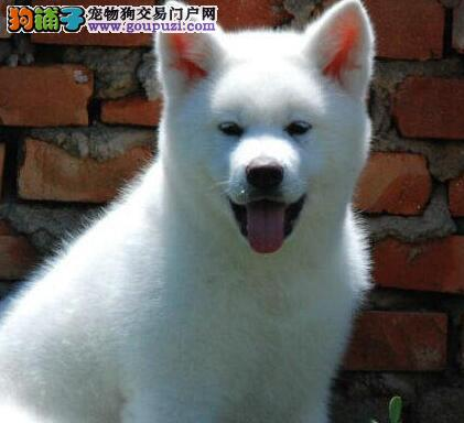 广州自家繁殖纯种秋田犬出售公母都有包养活