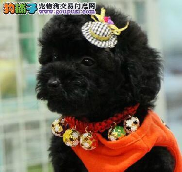 CKU认证犬舍 专业出售极品 泰迪犬幼犬终身售后保障