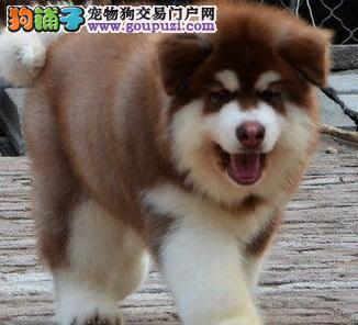 转让极品岳阳阿拉斯加雪橇犬带血统带芯片