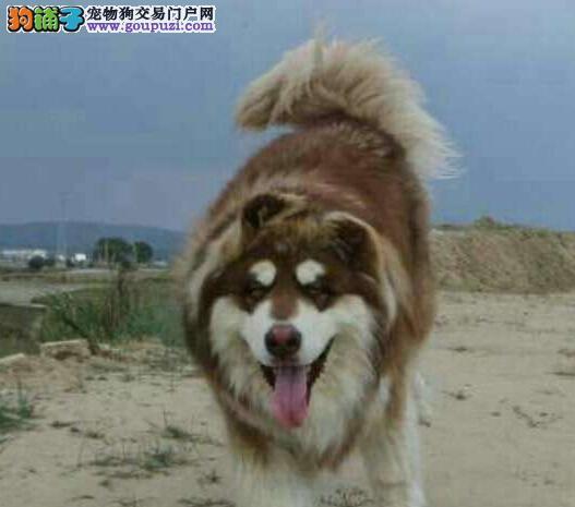 十字架桃脸品相的重庆阿拉斯加犬热卖中 签订购犬协议