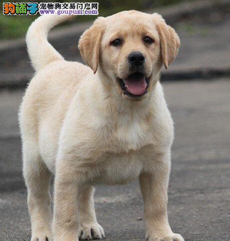 赛级拉布拉多幼犬延安待售中 颜色一应俱全 带血统证书