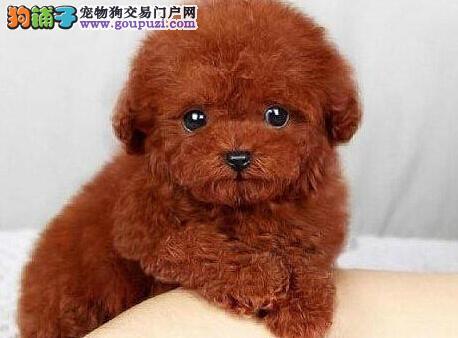 长沙犬厂直销精品泰迪犬价格优惠健康保障