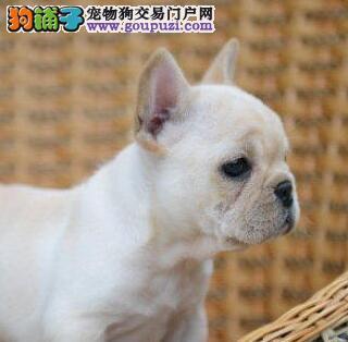 CKU犬舍认证榆林出售纯种法国斗牛犬价格美丽非诚勿扰