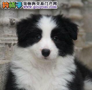 优惠价出售七白到位纯种边境牧羊犬 广州周边可送狗