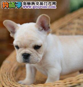 CKU犬舍认证出售高品质法国斗牛犬爱狗人士优先