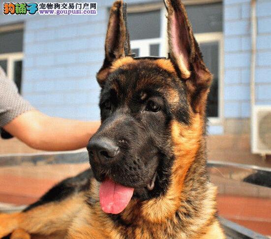 实体店出售精品德国牧羊犬保健康欢迎爱狗人士上门选购
