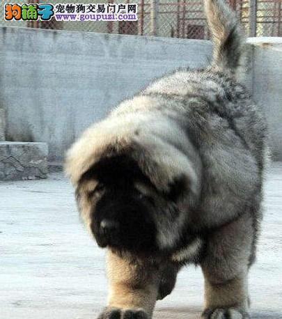 完美品相血统纯正高加索出售微信咨询看狗狗照片