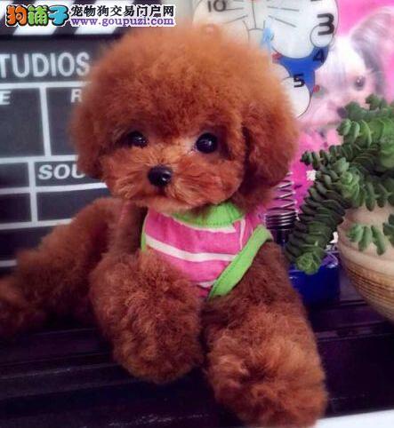 热销韩系血统昆明贵宾犬 有售后保障可签订协议