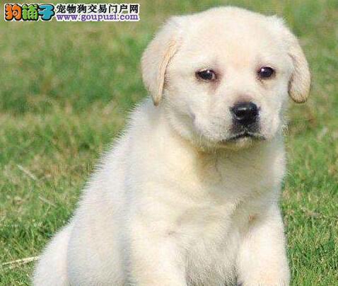 导盲犬顶级拉布拉多石家庄直销 健康质保可签订协议