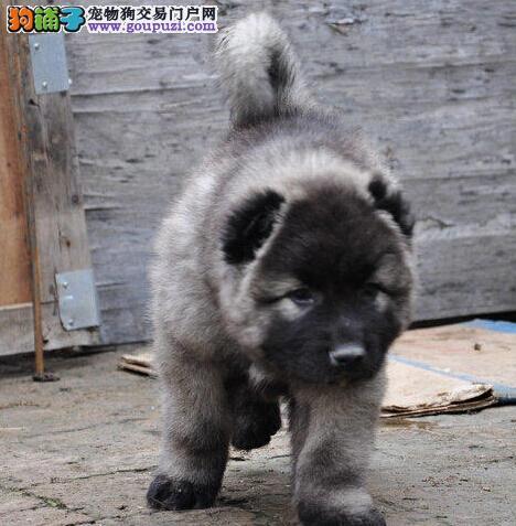 专业高加索繁殖基地出售赛级高加索犬