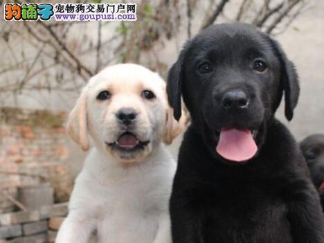 宿州最大犬舍出售多种颜色拉布拉多办理血统证书