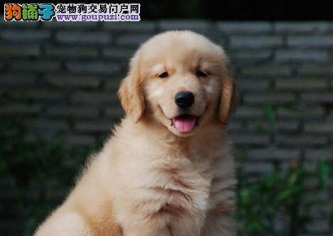 厦门正规养殖基地售金灿灿的金毛犬 黄金猎犬值得拥有