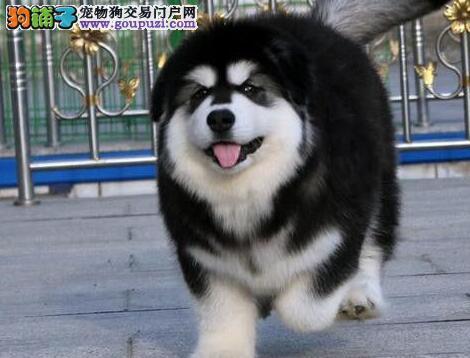 哈尔滨专业犬舍直销出售大骨架阿拉斯加雪橇犬 价格低