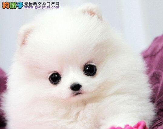 超萌纯种哈多利球形博美幼犬喀什热卖 粉雕玉琢 包健康
