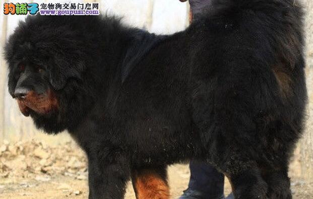 义乌藏獒藏獒幼犬 品相好健康保证红獒