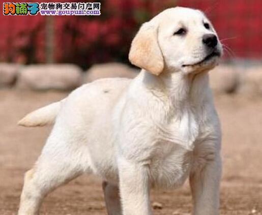 出售大骨架大脑袋的厦门拉布拉多犬 喜欢的朋友别错过