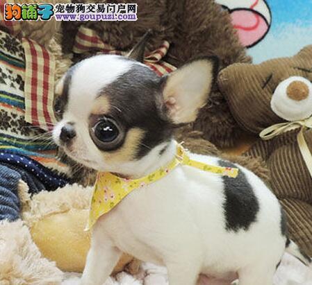 大型犬舍低价热卖极品吉娃娃签订合法售后协议