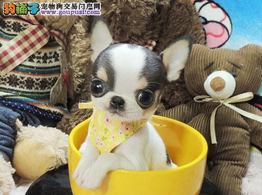 天津本地出售高品质吉娃娃宝宝价格特优惠哦