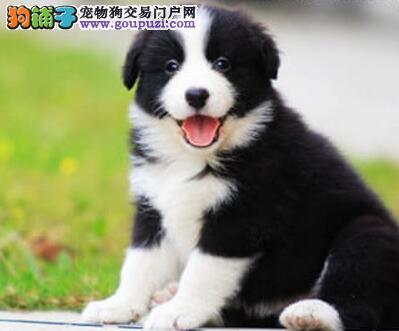 天津热卖边境牧羊犬多只挑选视频看狗全国质保全国送货
