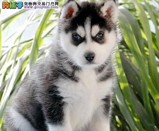 CKU认证犬舍出售高品质哈士奇喜欢微信咨询