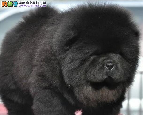 可爱松狮幼犬低价出售
