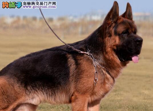 纯正血统身体健康的德国牧羊犬找新家 厦门可免费送货