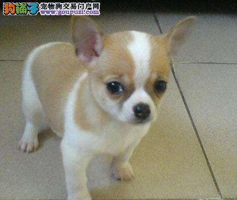 重庆实体店出售精品吉娃娃保健康微信看狗真实照片包纯