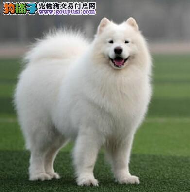 大型专业培育萨摩耶幼犬包健康保障品质售后