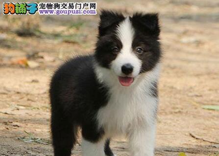 郑州自家繁殖的纯种边境牧羊犬找主人价格美丽品质优良