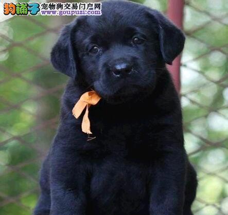 狗场出售精品许昌拉布拉多犬包种保健康有协议