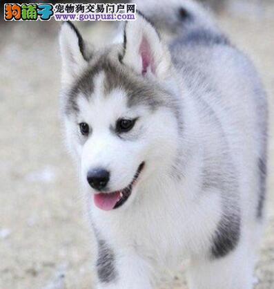 出售双血统赛级品相的中山哈士奇 多只幼犬任选择