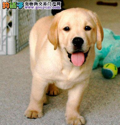 黑色奶白色咖啡色佛山拉布拉多犬出售 多只供您选购