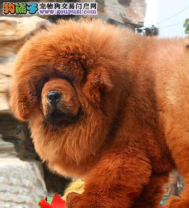 出售骨骼粗大高大威猛的南京藏獒幼崽 欢迎上门看狗