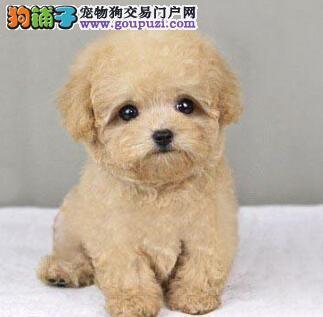 超级精品泰迪犬 欢迎选购信誉第一,实物拍摄可见父母 提供养护指导