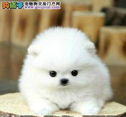 出售高品质博美犬 专业繁殖包质量 签协议可送货