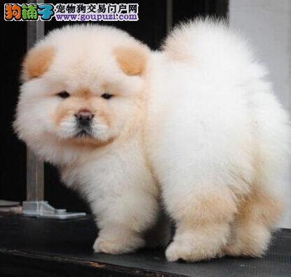 全场总冠军纯种赛级松狮幼犬高品质纯血统-终身保障