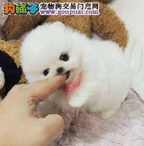 特价纯色球形博美犬 乖巧可爱青岛地区可免费送货