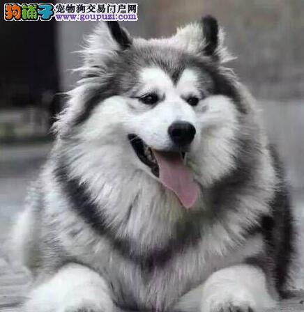 热卖青岛精品阿拉斯加犬 公母均有购犬送用品