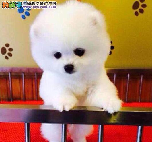 哈多利球形血系的博美犬找新主人 包头市内可送货