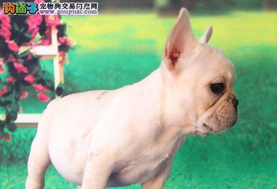 低价热销法国斗牛犬 价格美丽品质优良 喜欢加微信