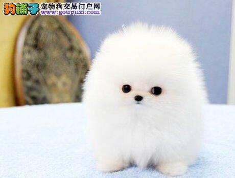 哈尔滨专业犬舍热销哈多利版博美犬 高品质低价格