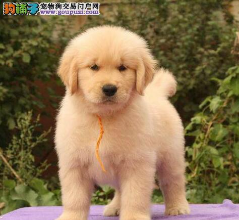重庆出售金毛颜色齐全公母都有品质血统售后均有保障